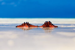 Two sea-stars lying on sand beach background Stock Image
