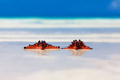 Two sea-stars with wedding rings lying on sand beach background Royalty Free Stock Photos