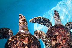 Two sea turtle  swimming in tropical water Stock Image