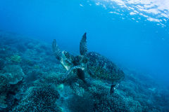 Two sea turtles Stock Photo