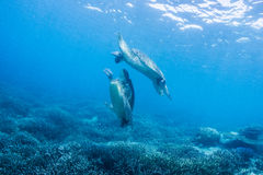 Two sea turtles Stock Photography
