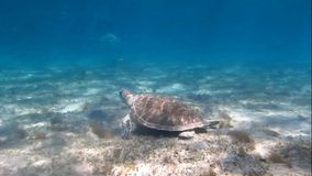 Two sea turtles. On the ocean floor when eating stock footage