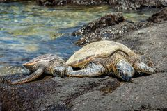 Two Sea Turtles Resting on a Rock Stock Photo