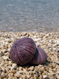 Two sea urchin on beach Stock Photo
