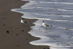 Two seabird. Small seabirds on wet sand Stock Photo