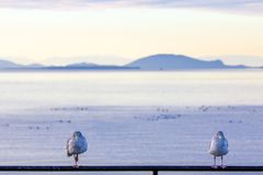 Free Two Seabirds Face Camera Infront Of Islands And The Sea Royalty Free Stock Images - 106868009