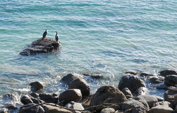 Two seabirds on a rock in ocean. Two pied shag on the rock in Tauranga Harbor Royalty Free Stock Image