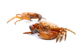 Two seafood red crabs isolated on a white Stock Photo