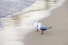 Two Seagull Stock Image
