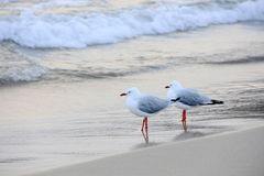 Two Seagull Royalty Free Stock Photo