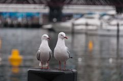 Two seagull birds standing on a pole with water on the background. Silver Gull water bird stock image