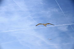 Two seagull on the blue sky Royalty Free Stock Images