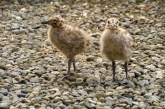 Two seagull chicks Royalty Free Stock Photos