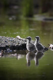 Two Seagull Chicks in a Pond. Two young seagulls climb out of a pond onto a rocky island Royalty Free Stock Photography