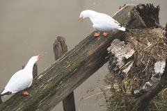Two seagull fighting near a nest royalty free stock photography