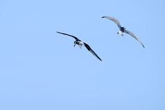 Two seagull flying Royalty Free Stock Photo