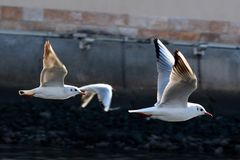 Two seagull flying over Dubai Royalty Free Stock Photo