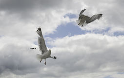 Two seagull flying in the sky Stock Photo