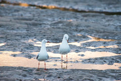Two Seagull in mud flats Royalty Free Stock Image