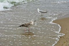 Two seagull. One seagull with a plastic bag in its beak Stock Image