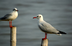Two seagull stand on bamboo Stock Images