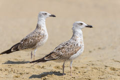 Two seagull Royalty Free Stock Image