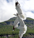 Two seagulls. Soaring in the sky Royalty Free Stock Image