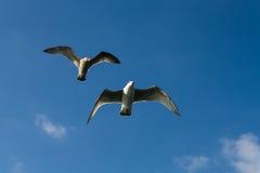 Seagulls. England Dorset Bridport Westbay two seagulls Royalty Free Stock Image