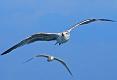 Two seagulls Royalty Free Stock Images