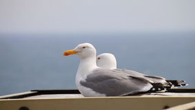 Two seagulls. On the background of the sea stock footage