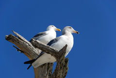 Two Seagulls. Standing on the tree shown against blue sky Stock Images