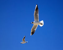 Two seagulls on a background of blue sky. Doubles flight against the sky Stock Images