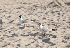 Two seagulls on a beach at sunset Royalty Free Stock Photos