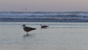 Two seagulls on the beach at sunset. Two birds on the flat beach standing in a shallow sea water lit by sunset light stock footage