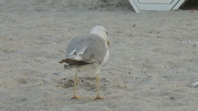 Two seagulls on the beach stock footage