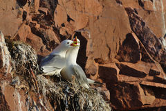 Two seagulls (Black-legged kittiwake, Rissa tridactyla) fight in the nest. The scene is illuminated by sunset light. The bird colony on the rocks in the White royalty free stock photo