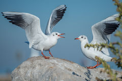 Two Seagulls challenge. Two seagulls challenging each other on the rock, in front of the blue sky, behind a bush Royalty Free Stock Image