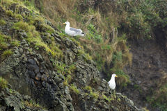 Two seagulls on the cliff. Royalty Free Stock Photo
