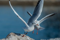 Two seagulls  duel. Two seagulls jumping from the rock close to the sea Royalty Free Stock Photography