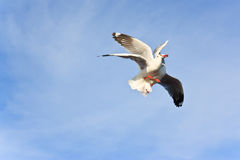 Two seagulls eating on the sky Stock Images