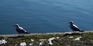 Two seagulls on the edge of a lake Royalty Free Stock Photo