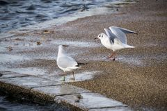 Two seagulls at the edge of the lake stock photos