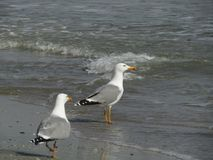 Two seagulls entering the water Royalty Free Stock Images
