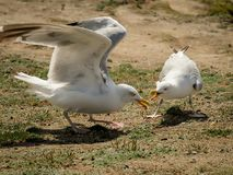 Two seagulls fighting for food on the ground stock photos