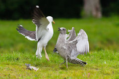 Two seagulls fighting over a fish. On green ground stock images