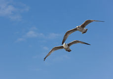 Two seagulls in flight Stock Images