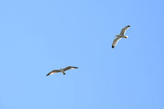 Two Seagulls in Flight Royalty Free Stock Images