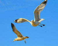 Two seagulls in flight. Two seagulls flying against a blue sky, one looking at the camera Royalty Free Stock Image