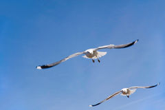 Two seagulls in flight in front of blue sky Royalty Free Stock Photography