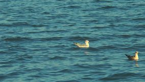 Two seagulls floating in the sea. Of Azov stock footage